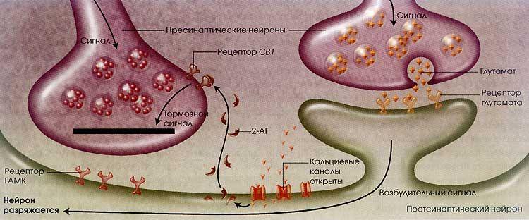Endocannabinoid receptor rimonabant