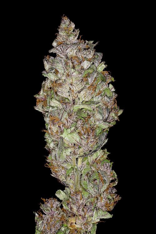 Отличить хорошую коноплю от плохой жидкость с марихуаной купить