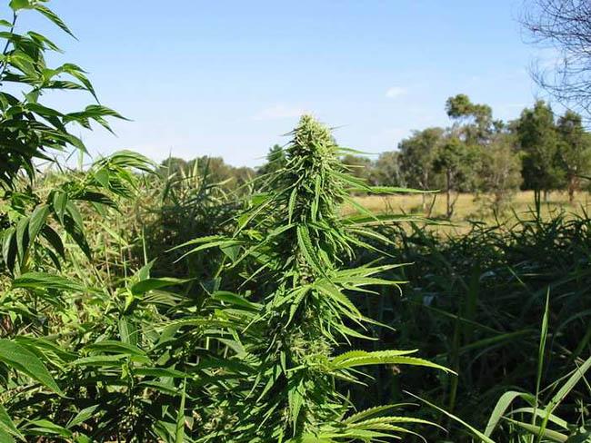 Когда высаживать коноплю в открытый грунт скачать торрент фильм вся правда о марихуане