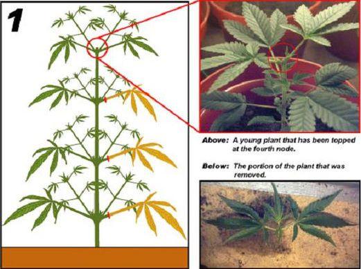 Сообщество любителей марихуаны монета конопля
