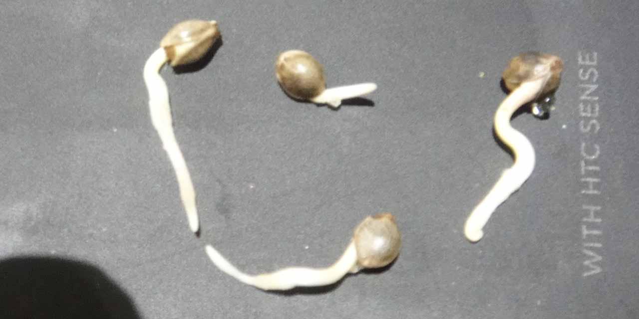 Проросшие семена конопли вредит конопля здоровью