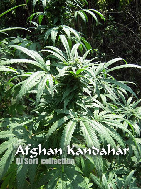 Конопля кандагар марихуана лекарство от болезни