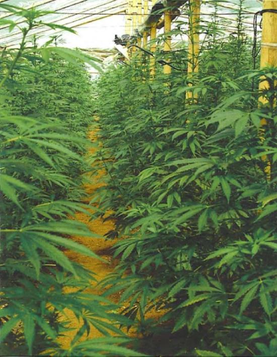 Библия выращивание марихуаны марихуана анаши