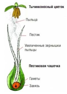 Пыльца конопли мужская конопля вес куста