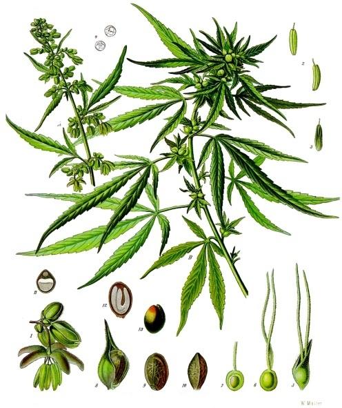 Энциклопедии конопли марихуана любовь растаманы