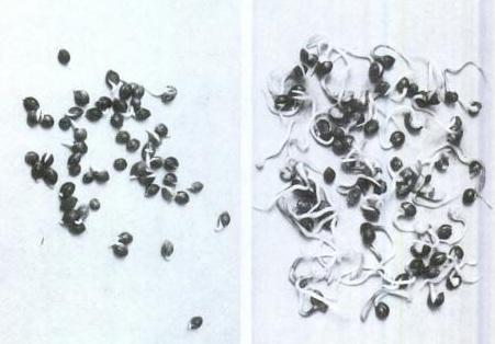 Проросшие семена конопли почему конопля запрещена