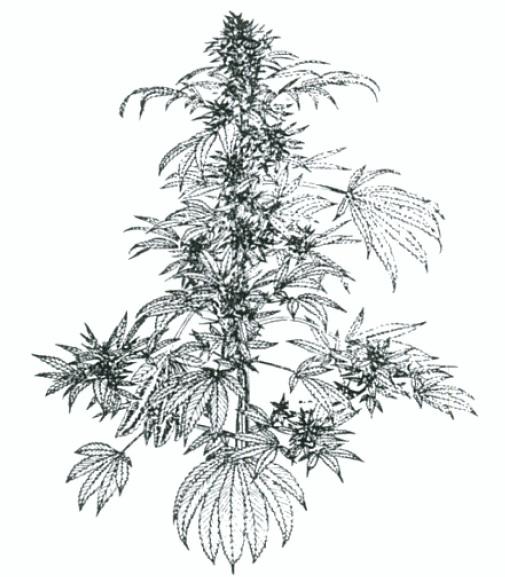 Картинки конопли нарисовать антагонисты марихуана