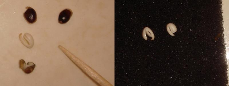 Недозревшие семена конопли выращивание конопли и гидропоника