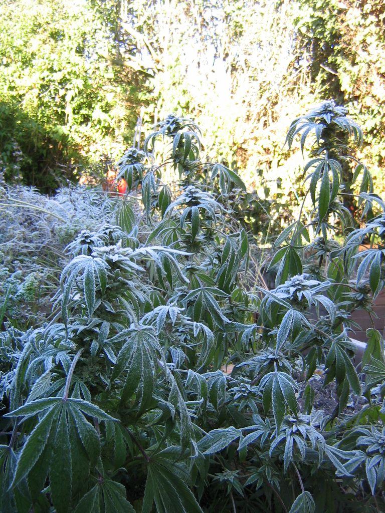 Марихуана под снегом марихуаны как обмануть тест